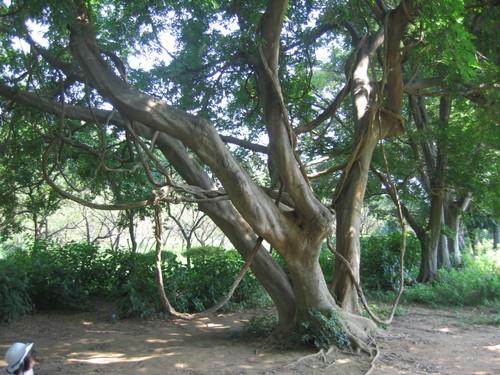 トムソーヤの木